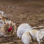 Judi Sabung Ayam S128 Ada Karena Mendunia